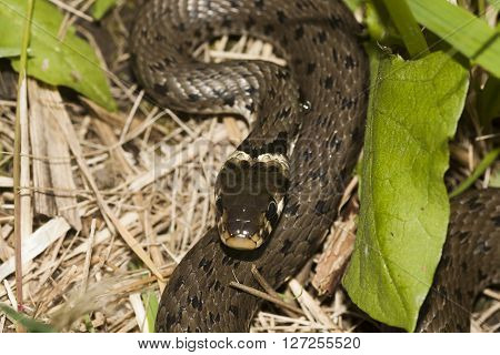 a grass snake or a ringed snake