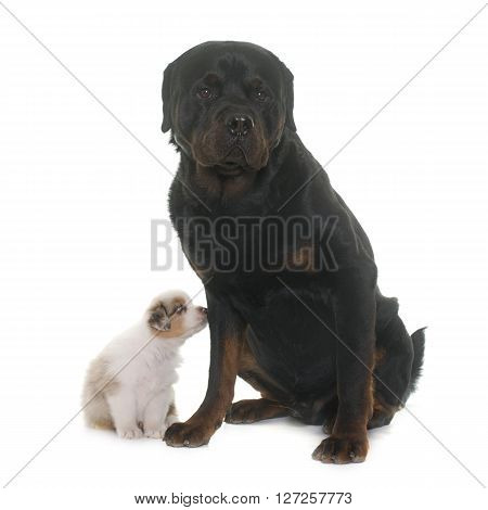 puppy australian shepherd and rottweiler in front of white background