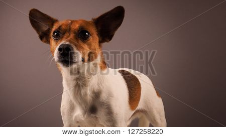 Portrait of a Jack Russell Terrier studio shot