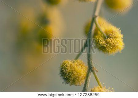 twigs of yellow mimosa flower. macro shot
