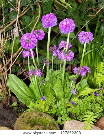 Drumstick Primrose In The Garden.
