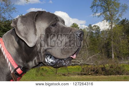 Gray Great Dane with a pink collar on a grassy field