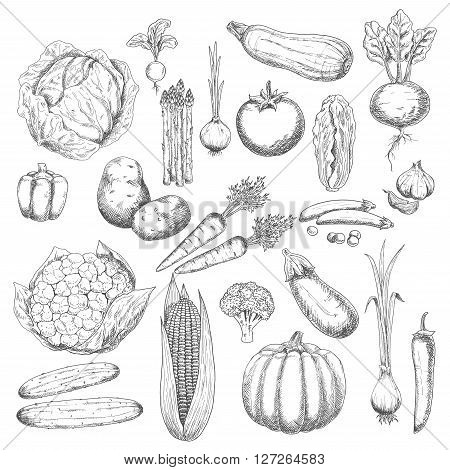 Abundance of autumn harvest sketch symbol with icons of healthy and fresh cabbages, peppers, onions, broccoli, tomato, potatoes, garlic, cucumbers, beetroot, carrots, pumpkin, corn, eggplant, asparagus, peas, zucchini and radish vegetables