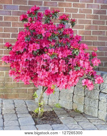 Red and pink azalea flowers in full bloom on a bricked patio