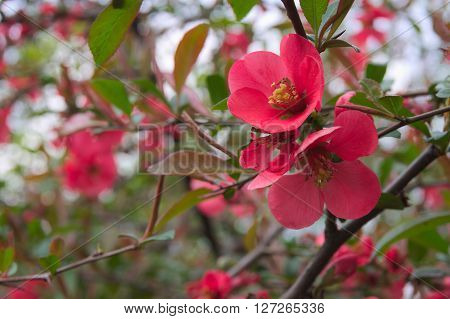 Quince Flowers In The Spring With A Blank Space For Text