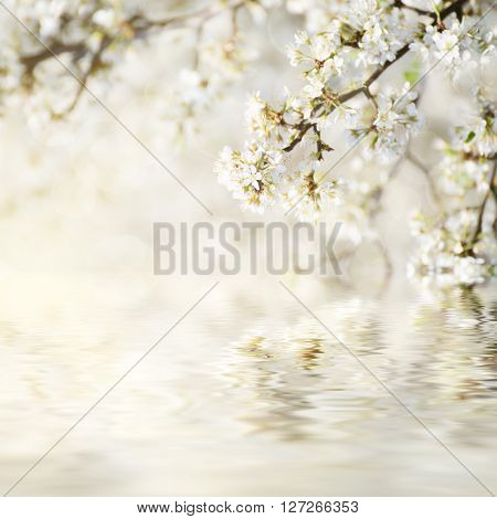 Blossoming of plum flowers in spring time with water reflection, natural seasonal floral background