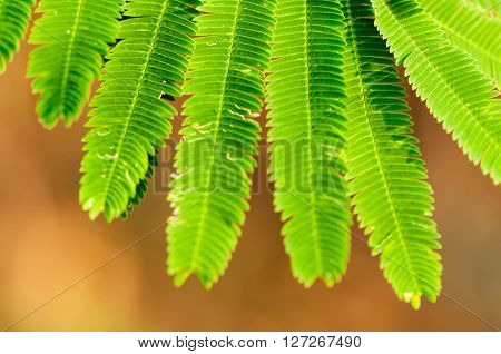 Climbing Wattle or Acacia pennata vegetables eat leaves and has many nutrients and vitamins.