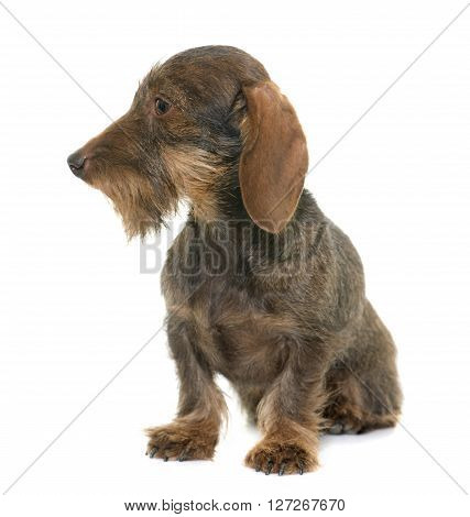 female Wire haired dachshund in front of white background