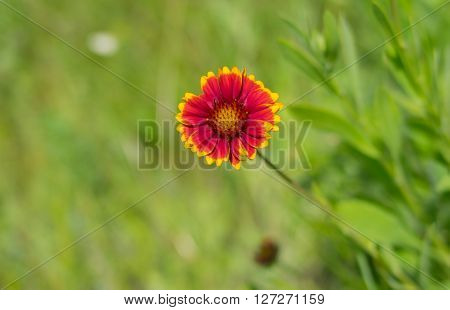 Lonely Indian blanket flower in a summer wild field