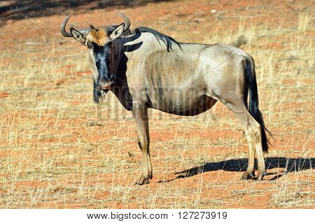 Blue wildebeest (Gnu or Connochaetes taurinus) in the Kalahari desert. Big animal in the nature habitat Namibia Africa
