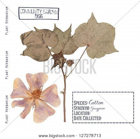Herbarium pressed plant cotton. Flower leave stem isolated on white