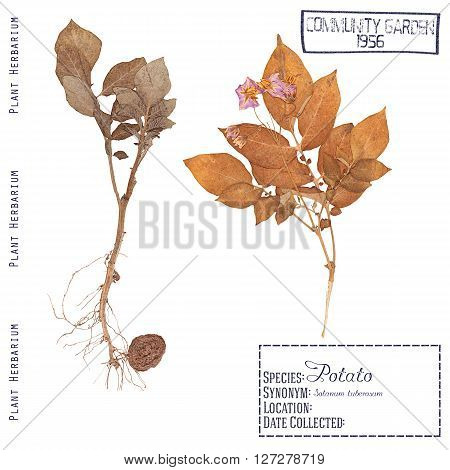 Herbarium of pressed parts of the plant potatoes. Leaf stem flower root and tuber isolated on white