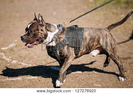 Dog American Staffordshire Terrier Posing On Obedience Training Outdoor