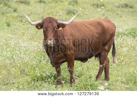 Bull in a flowery meadow looking at something carefully