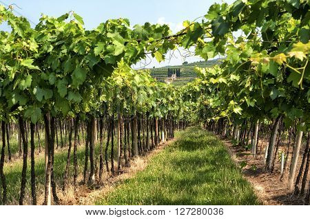 Landscape in Lessinia (Verona Veneto Italy): vineyards in a sunny summer day