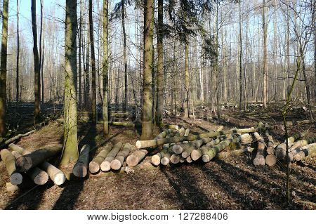 Timber harvesting. Pile of logs and lots of stumps in the wood-cutting area in the forest in early spring