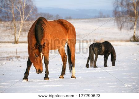 Rural scene with two horses in snow on a cold winter day.