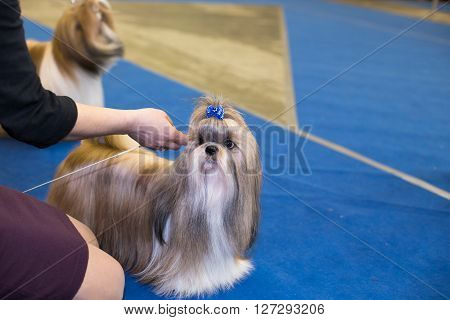 Well groomed Shih-tzu puppy in the ring at the exhibition