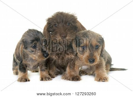 puppies Wire haired dachshund in front of white background