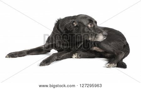 A Black Dog On White Background