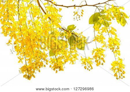 Golden shower (Cassia fistula) Beautiful flower in summer time on white background