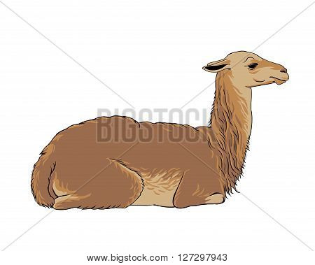 alpaca (vicuna llama) - vector animal illustration
