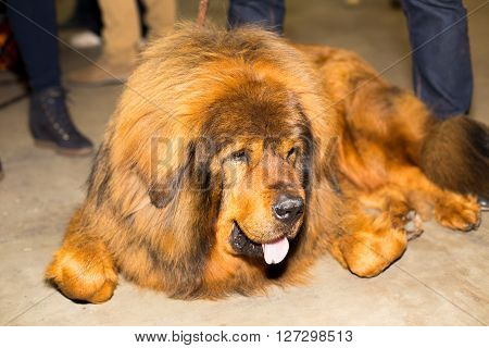 Great red well groomed Tibetan Mastiff - at the exhibition