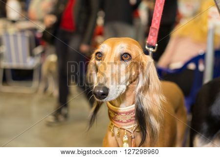 Great red furred hound portrait - at the exhibition