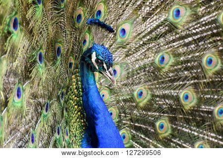 Portrait of beautiful peacock with feathers out. Blue peacock tail feathers spread.