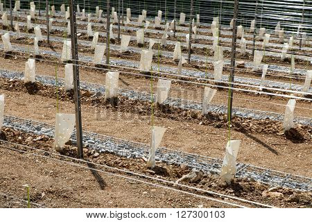Perspective of young vine stocks, new plantation, covered with ecological protection bags, in a new modern vineyard, built with stone fence baskets