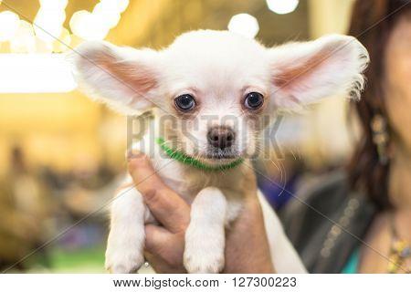 Little papillon puppy small face - dog exhibition