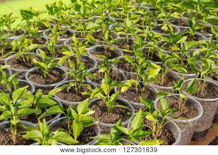 Pepper Seedlings Growing In A Greenhouse