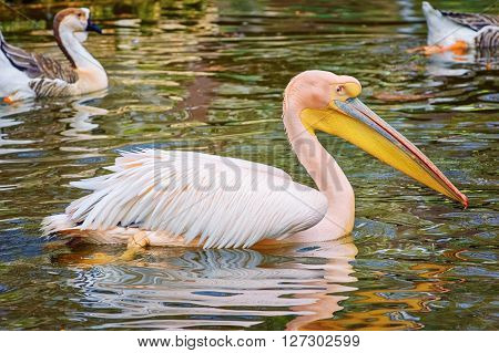 Image of a Pelican on the Pond