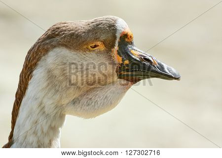 Image of Close up Portrait of the Goose