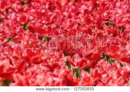 Image of Field of Red Tulips (Shallow DoF)