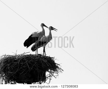 Couple of storks in nest, black and white photo