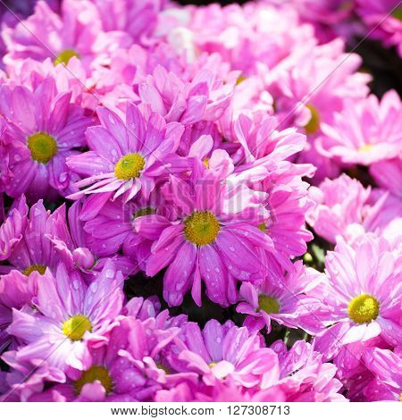 Beautiful of Chrysanthemum pink flowers in garden