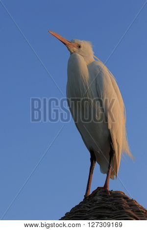 Chesty heron stays on the straw roof in the morning