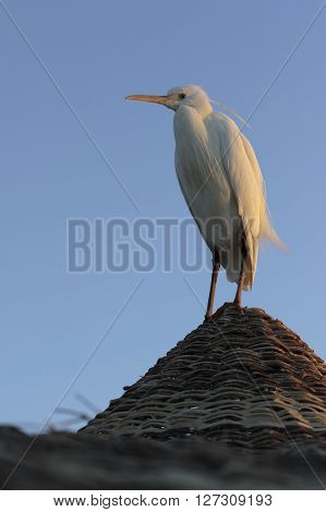 White heron stands on a roof peak in soft morning dawn light