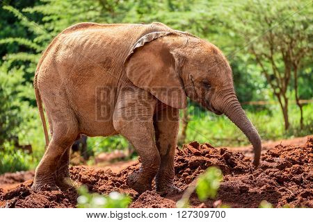 Baby elephant playing in the mud in one of the national parks of Kenya