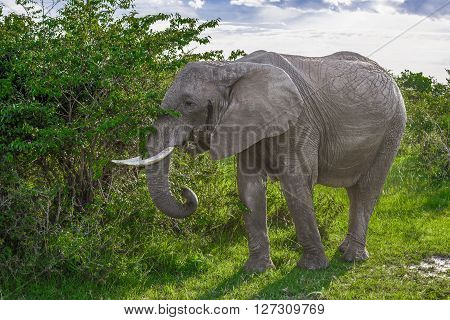 Big African elephant walking through the bushes in the Maasai Mara national park (Kenya)