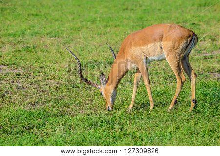 Impala grazing in the Maasai Mara national park (Kenya)