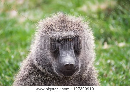 Front close-up view of a baboon with differently colored eyes in the Maasai Mara national park (Kenya)