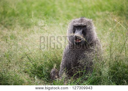 Front view of a baboon with differently colored eyes resting in the grass in the Maasai Mara national park (Kenya)
