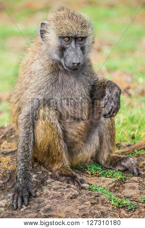 Young baboon resting in one of the national parks of Kenya