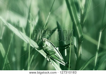 The grasshopper sits on a green grass