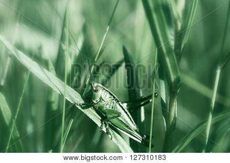The grasshopper sits on a green grass