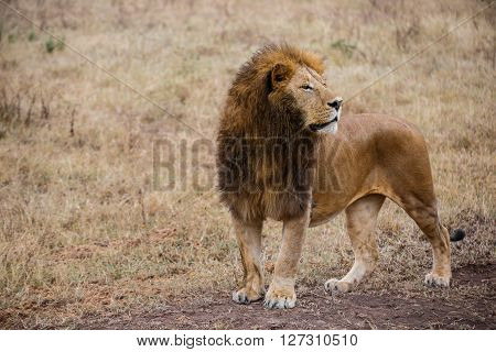 Side view of a male lion watching prey in one of the national parks of Tanzania
