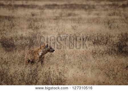 Hyena hunting in one of the national parks of Tanzania
