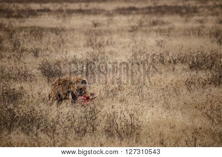 Hyena finishing a buffalo head in the Ngorongoro national park (Tanzania)